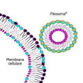 Rappresentazione di un Fitosoma® in avvicinamento a una membrana cellulare. L'affinità delle due strutture mescola il principio attivo nella membrana cellulare.